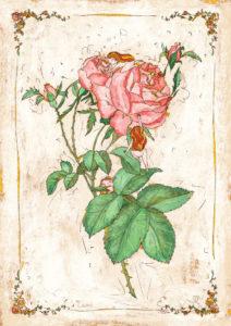 Disegno botanico rose